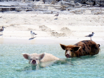 08.2012 Vorobek Bahamas - swimming pigs (cdorobek)  [flickr.com]  CC BY  License Information available under 'Proof of Image Sources'