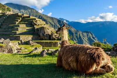 Lama vor den Machu Picchu Terassen (vadim.nefedov / stock.adobe.com)  lizenziertes Stockfoto  License Information available under 'Proof of Image Sources'