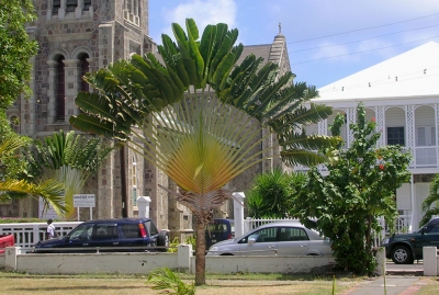 Basseterre - Tropical Tree near Cathedral (Roger W)  [flickr.com]  CC BY-SA  License Information available under 'Proof of Image Sources'