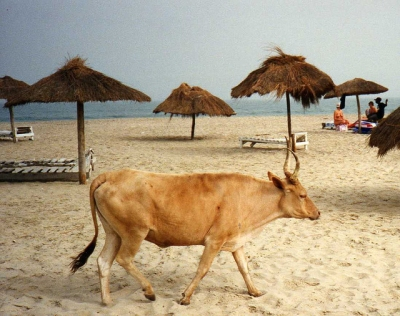 Cow on Kotu Beach (Leonora Enking)  [flickr.com]  CC BY-SA  License Information available under 'Proof of Image Sources'