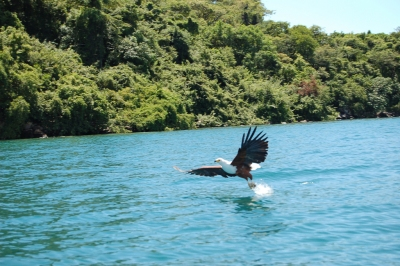 Fish Eagle, Lake Malawi (Joachim Huber)  [flickr.com]  CC BY-SA  License Information available under 'Proof of Image Sources'