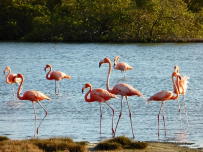 Flamengos at the mangroves (Bonaire 2014) (Paul Arps)  [flickr.com]  CC BY  License Information available under 'Proof of Image Sources'