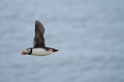 Puffin caught in flight (Stig Nygaard)  CC BY